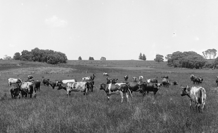 Black and white photo of cows in a field.